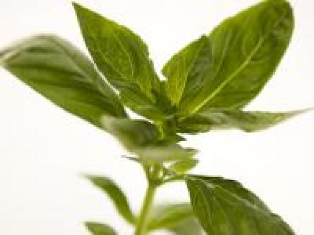 Certified Organic Herbs - Basil Bunches